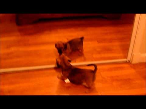 Cute - Puppy Plays With Itself