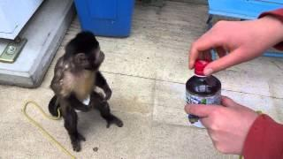 Monkey Buys A Drink From Vending Machine