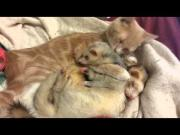 Cat Grooms The Ferrets