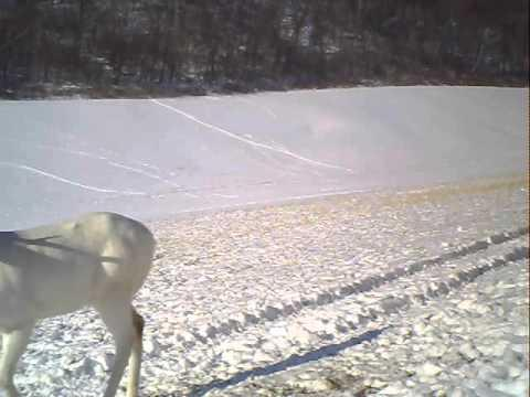 Funny Deer Scares Itself
