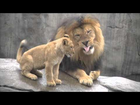 Lion Dad Meets His Cubs For The First Time