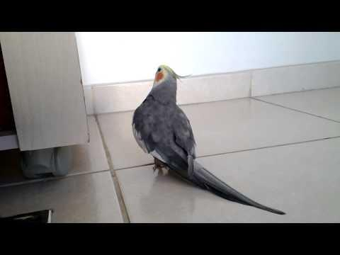 Cockatiel Shows Off Dance Moves