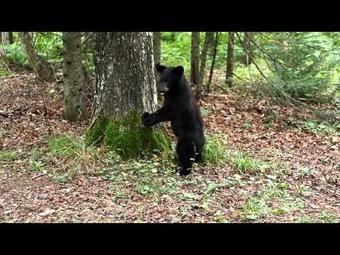 Scaredy Cat Black Bear Cub