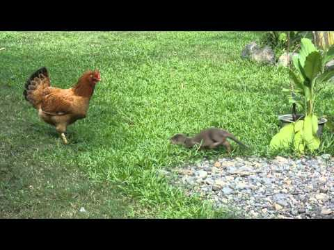 Otter Pups Try To Play With The Chicken