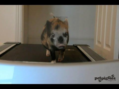 Micro Pig Tries To Lose Few Pounds