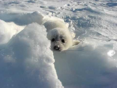 Cute - Crying Baby Seal