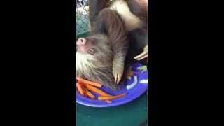 Cute Baby Sloth Eating Carrots