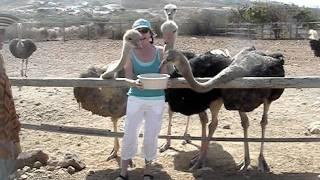 Woman Regrets Feeding The Ostriches