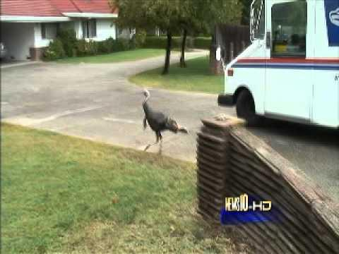 Jokes - Turkey Chases Lady