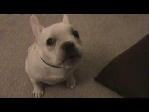 Cute - French Bulldog Starts Crying