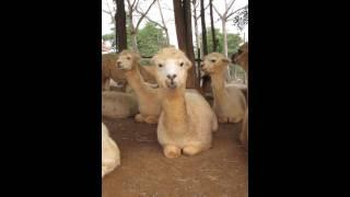 Alpaca Chewing Food