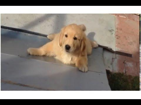 Golden Retriever Vs The Skate Ramp