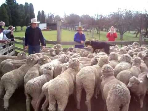 Jokes - Dog Runs On Flock Of Sheep