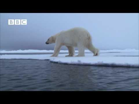 Sneaky Polar Bear's Attack On Seal FAIL