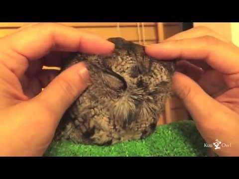 Cute Owl Enjoys A Good Head Massage