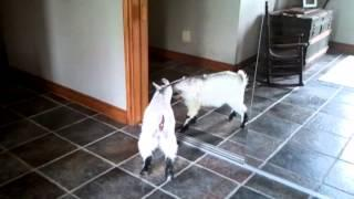 Baby Goat Discovers The Mirror