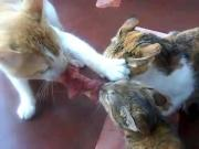 3 Cats Fight Over 1 Steak