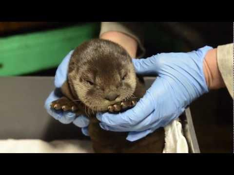 Cute - River Otter Up Goes For A Checkup