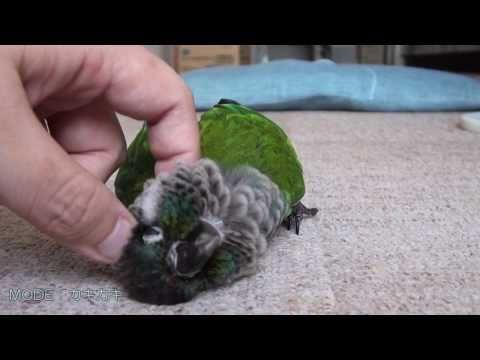Cute - Parakeet Likes To Petted