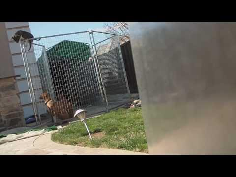 Awesome - Ninja Dog Climbs The Fence