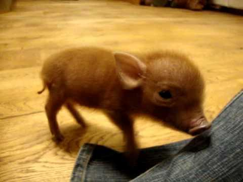 Cute - Playing With A Micro Pig