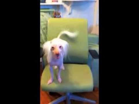 Cute Dog Dances To Pharrell Williams' Happy Song