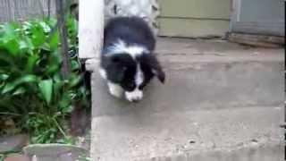 Corgi Puppy Conquers The Stairs