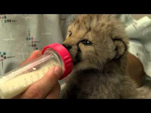 Cute - Bottle Feeding A Cheetah Cub