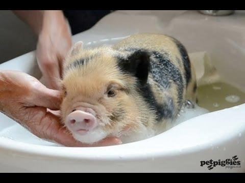Bath Time For Cute Micro Pig