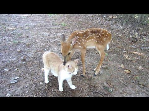 Baby Deer And The Cat Become Best Friends