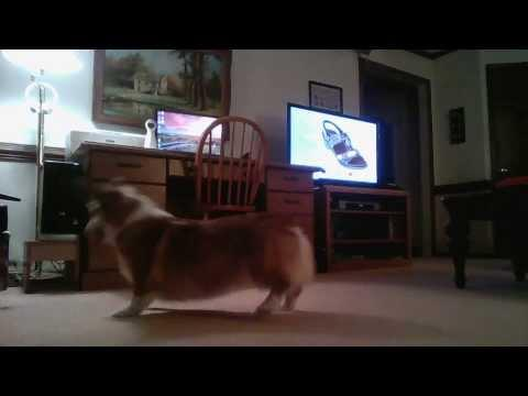 Cute Corgi Dog Plays With Quadcopter