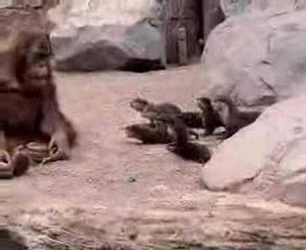 Cute - Otter Family Visits The Orangutan