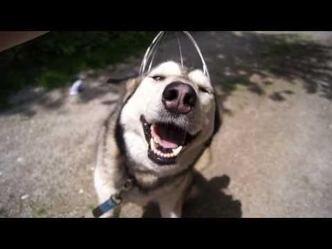 Husky Dog Enjoys The Head Massage