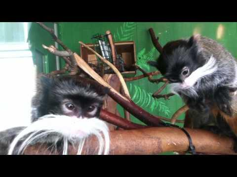 Cute - Tamarins Love The iPod Touch