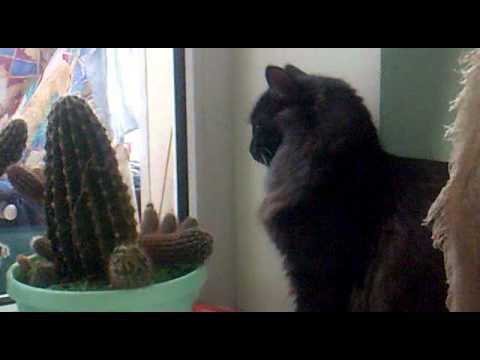 FAIL - Crazy Cat Tries To Eat Cactus