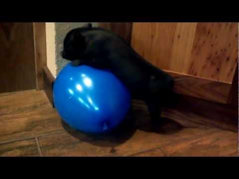 Jokes - Mini Pig Vs Balloon