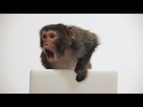 Monkey Discovers A Macbook