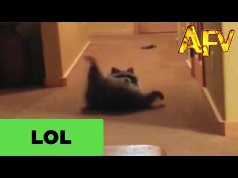 Pet Raccoon Does Barrel Roll