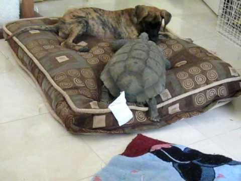 Jokes - Dog And Turtle Fight Over Bed