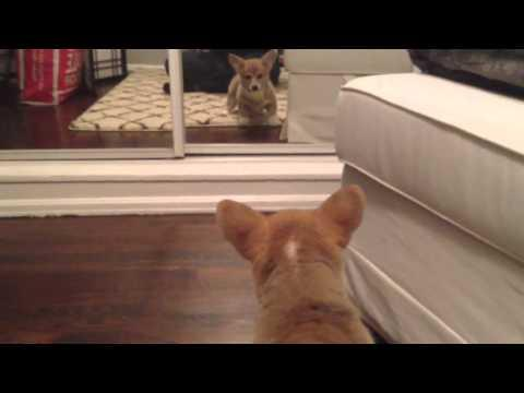 Cute - Corgi Puppy Scares Itself