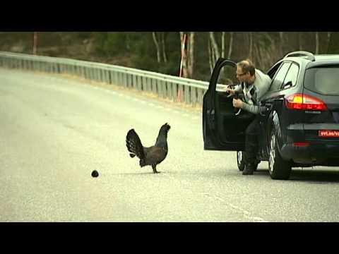 Swedish TV Reporter Vs Wood Grouse