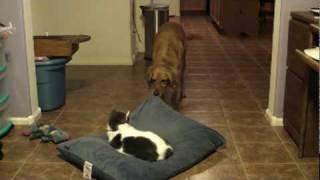 Cat Takes Over Dog's Bed