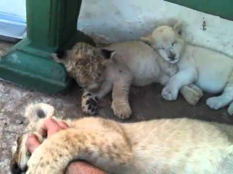 Cute - How To Put A Lion Cub To Sleep