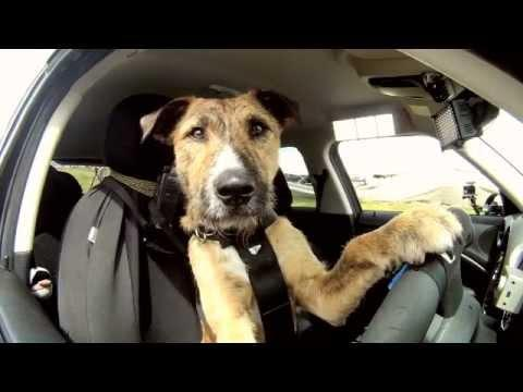 Amazing - Dog Drives The Car