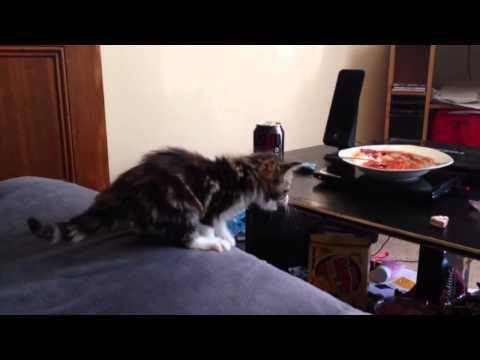 FAIL - Kitten Doesn't Give Up Easily