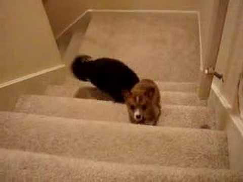 Cute - Corgi Puppy Gets Help Going Up The Stairs