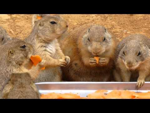 Cute - Prairie Dogs Eating Carrots
