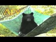 Bear Relaxing On The Hammock