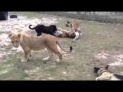Dog Plays With Lion And Tiger Cubs