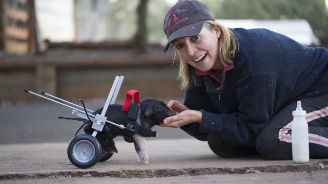 Cart Helps The Disabled Piglet Move Around